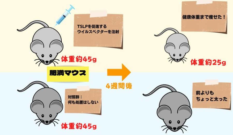 肥満マウスの実験。TSLPを促進したマウスは健康体重まで減量した。