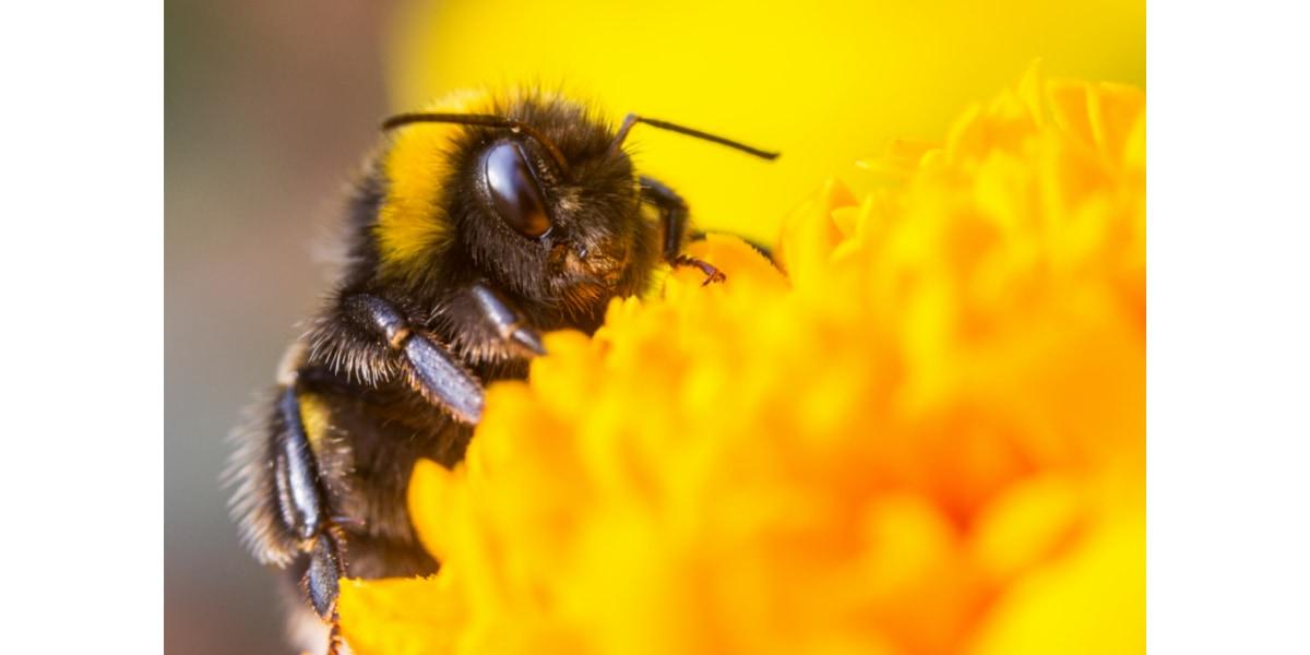 実はミツバチはカフェイン好き