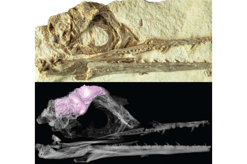発見されたイクチオルニスの頭蓋骨、下はCT画像