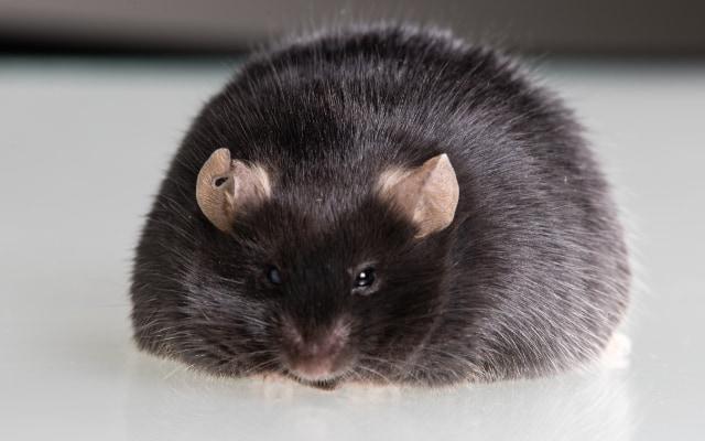 肥満マウスのTSLPを増加させた