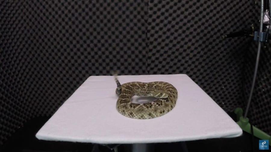 ガラガラヘビは「音響トリック」で敵の距離感を狂わせていた