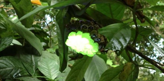 ブラックライトで黄緑に発光するスズメバチの巣