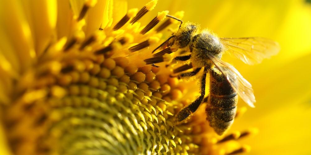 ヒマワリが東を向くのは、ハチを集めて受粉効率を上げるためだった