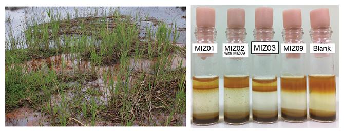 (左)鉄マット,(右)鉄酸化微生物の培養