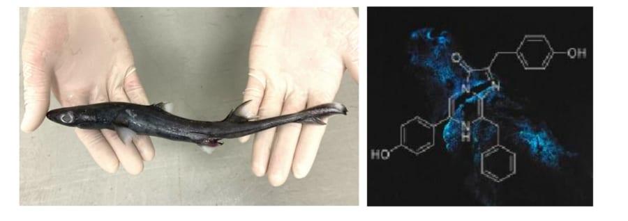 フジクジラの標本(左)と発光したお腹(右)