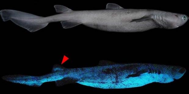 光るサメ「フジクジラ」の発行物質の特定に成功