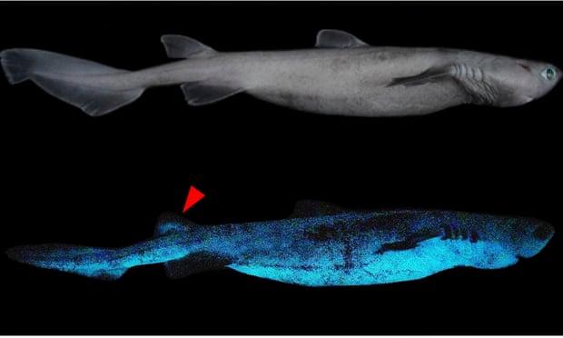光るサメの光るメカニズムを解明!発光物質を「エサから入手」していた