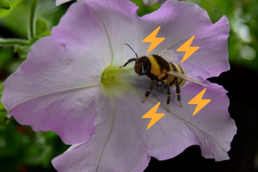 「ミツバチの生体電気に反応して」香りを増やす花があると判明