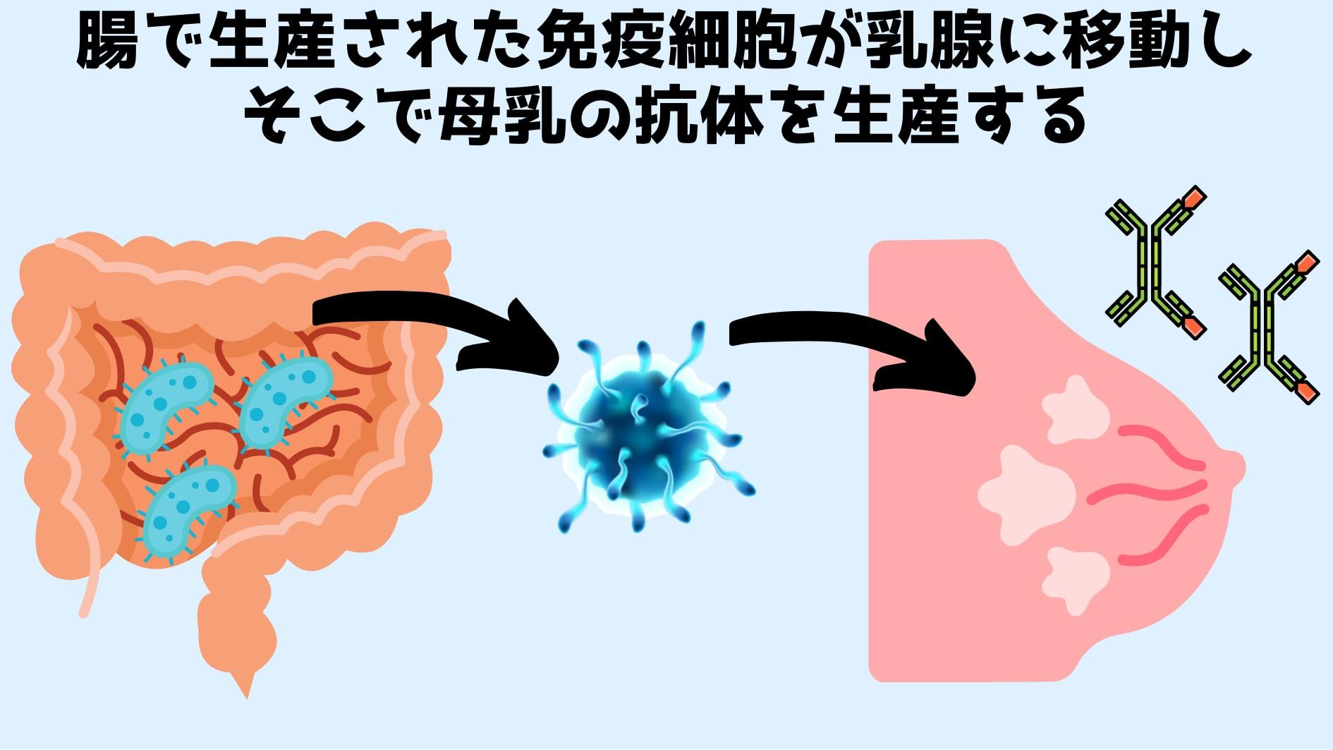 腸で生産された免疫細胞が乳腺に移動して「母乳中の抗体」を作っていると判明!