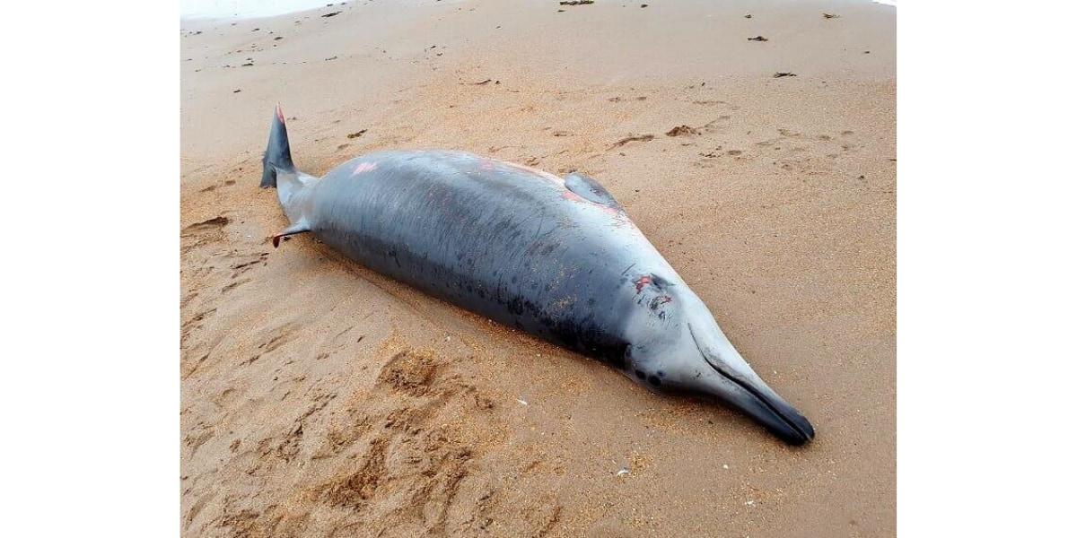 今回報告された個体ではないが、同種と思われるヨーロッパオウハギクジラの打ち上げられた姿