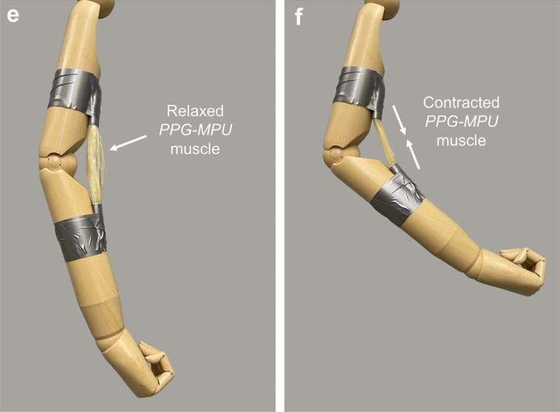 人工筋肉として機能する形状記憶ポリマーの様子