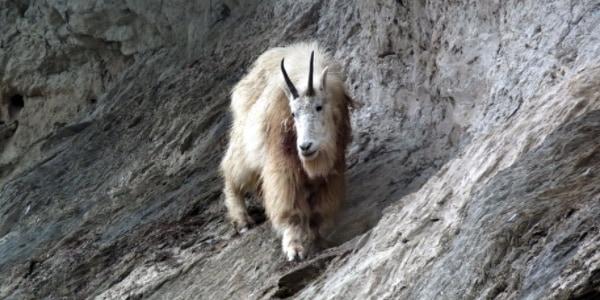 断崖絶壁を悠然と歩くシロイワヤギ