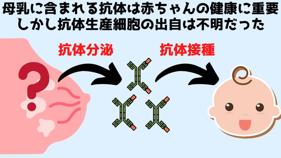 母乳の抗体を作る細胞は乳房以外の場所で作られている