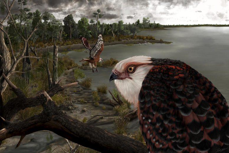 コアラ狩りを得意とした可能性のある2500万年前の「新種ワシ」の化石を発見