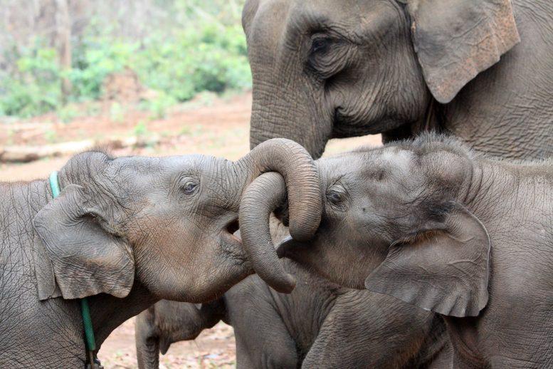 ミャンマーで半飼育されているアジアゾウ