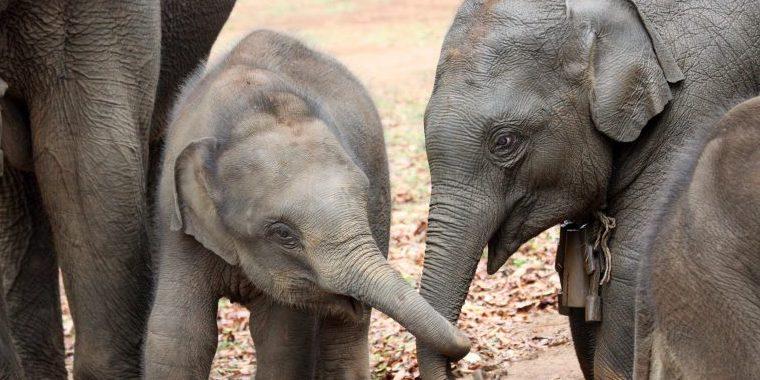 ゾウは姉がいると大きなメリットがあると判明