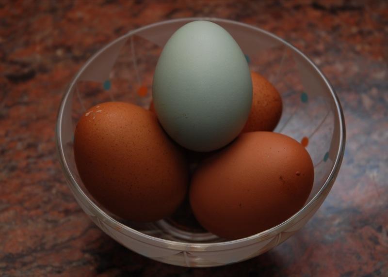 アローカナの水色卵(中央)