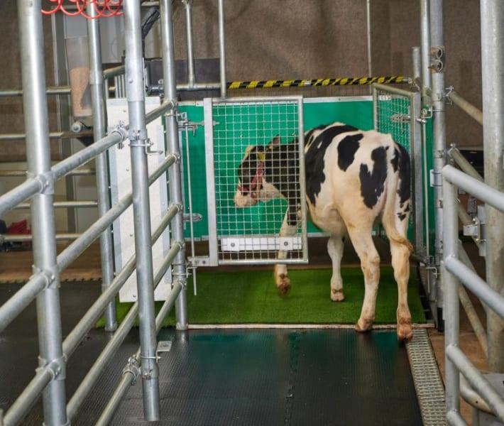 設置したトイレに入っていく子牛