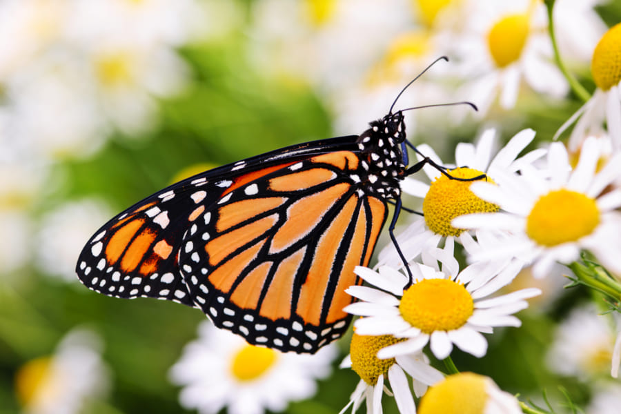 媚薬を作るために「幼虫の生き血を吸う」チョウがいると判明