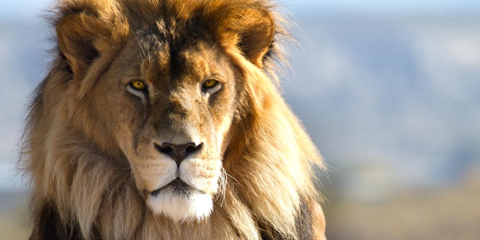 ライオンに勝てる動物ランキングTOP10