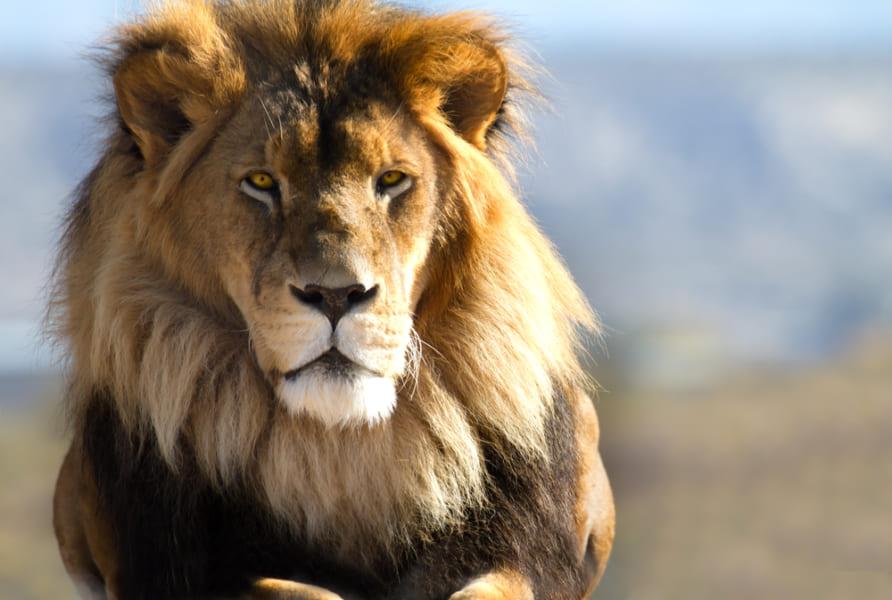 3位カバ、2位ヒト…1位は?「百獣の王・ライオンに勝てる生物ランキングTOP10」