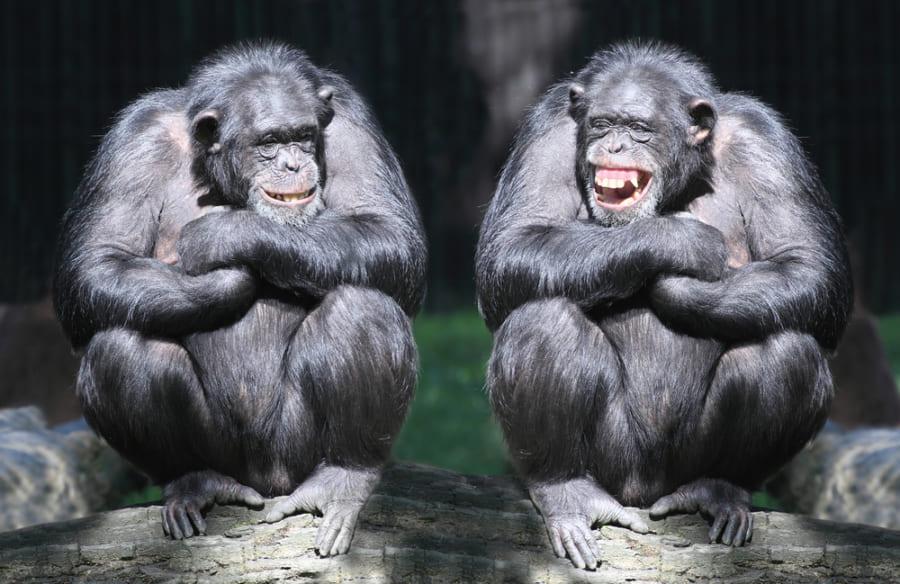 チンパンジーは息を吸うときと吐くときの両方で笑う