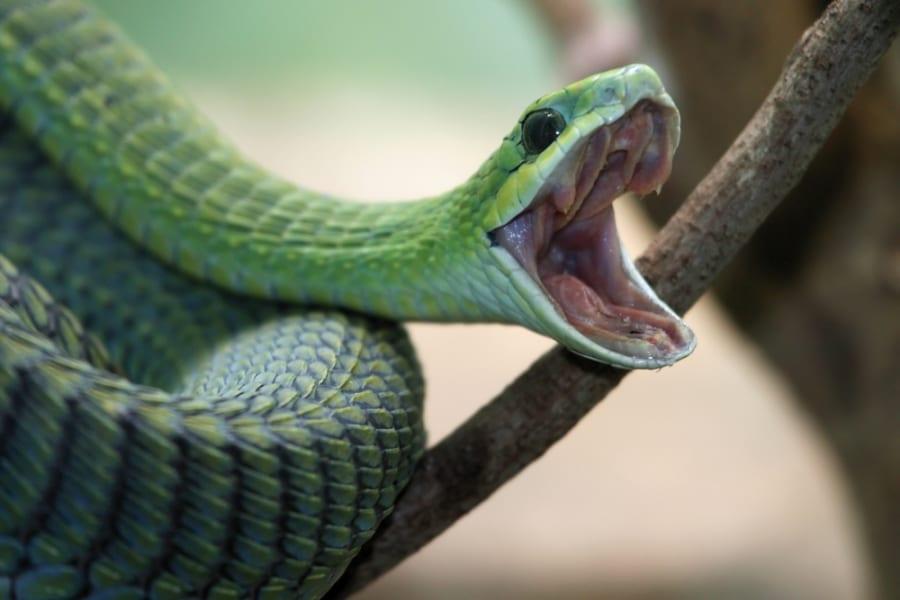 現代のヘビは6600万年前の大量絶滅後に多様化していた