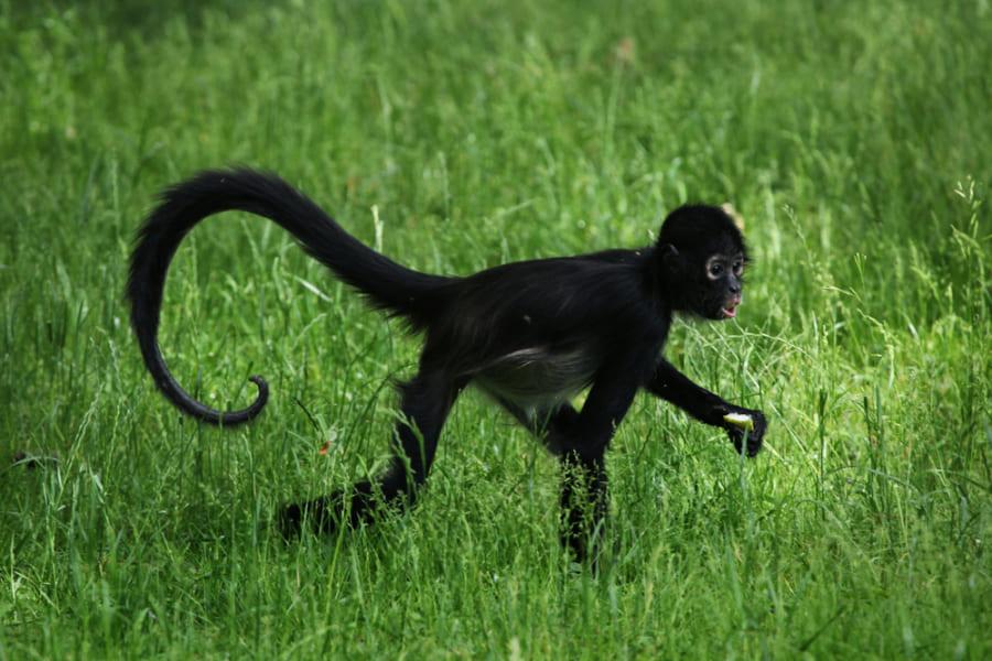 人間から「しっぽを消した遺伝子」を発見! マウスの尾を消すことにも成功