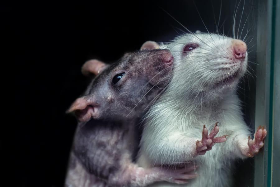 病んでる友人を見るだけでマウスは「うつ病」になると判明!