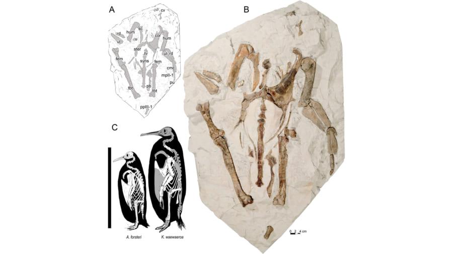 実際の化石、cはコウテイペンギン(左)と新種(右)のサイズ比較
