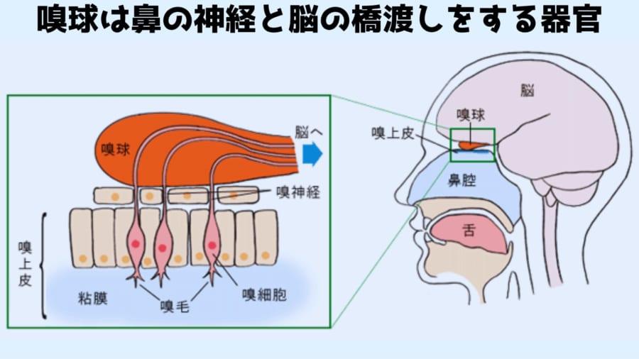 嗅球は鼻の神経と脳の橋渡しをする
