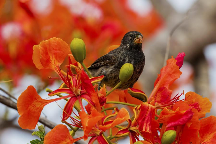 ガラパゴス諸島のダーウィンフィンチ