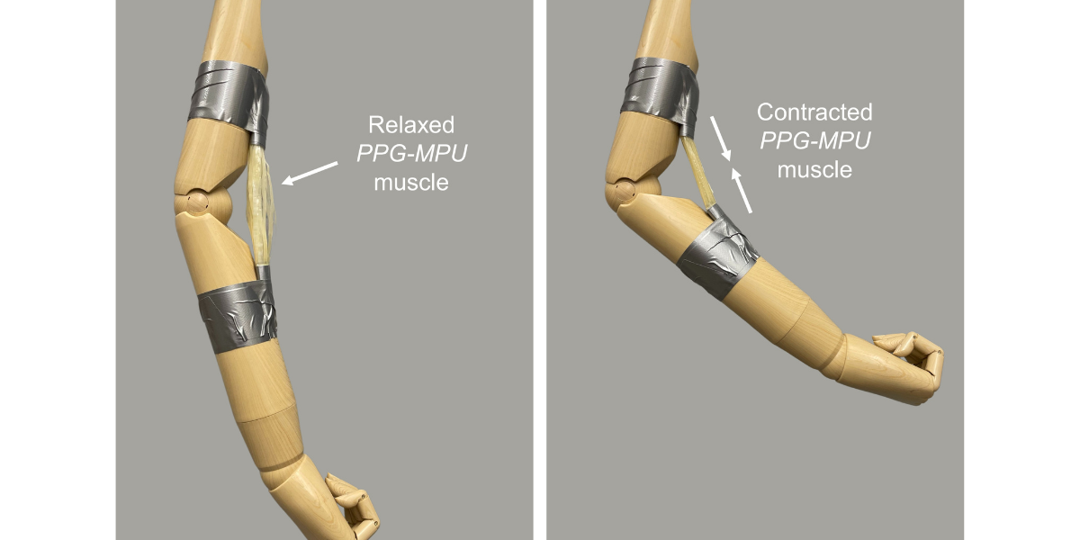 形状記憶ポリマーによる人工筋肉。加熱することで収縮しマネキンの腕を曲げている。