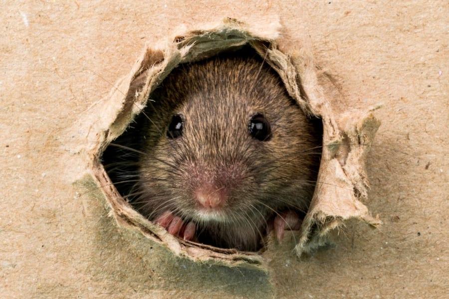 マウスを「バカ」にする腸内細菌を発見