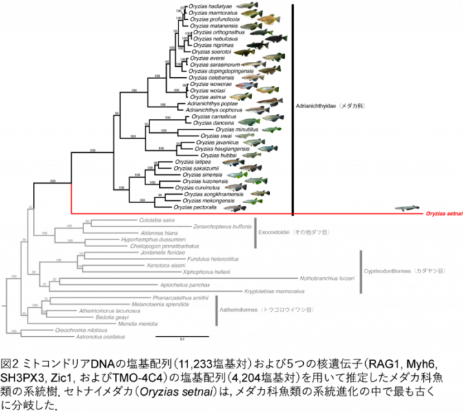 メダカ科の系統進化図、赤線がセトナイメダカ