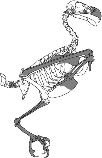 全体の骨格の復元、色ありの部分が採取された骨