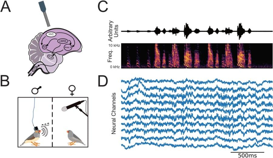 実験の内容。オスのキンカチョウの音声録音(C)とそれに対応する神経活動(D)。