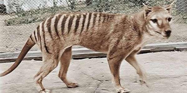 カラー修復された絶滅種・タスマニアタイガー