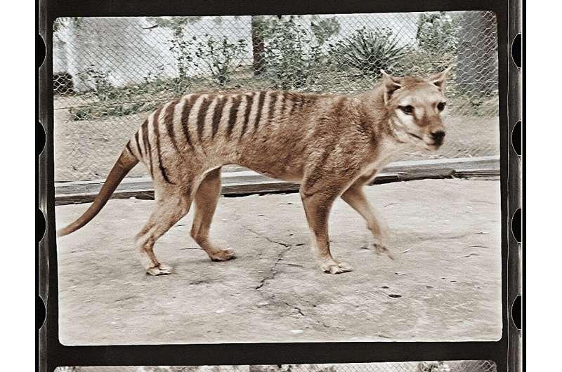 修復に200時間「絶滅種・タスマニアタイガー」のカラー復元に成功