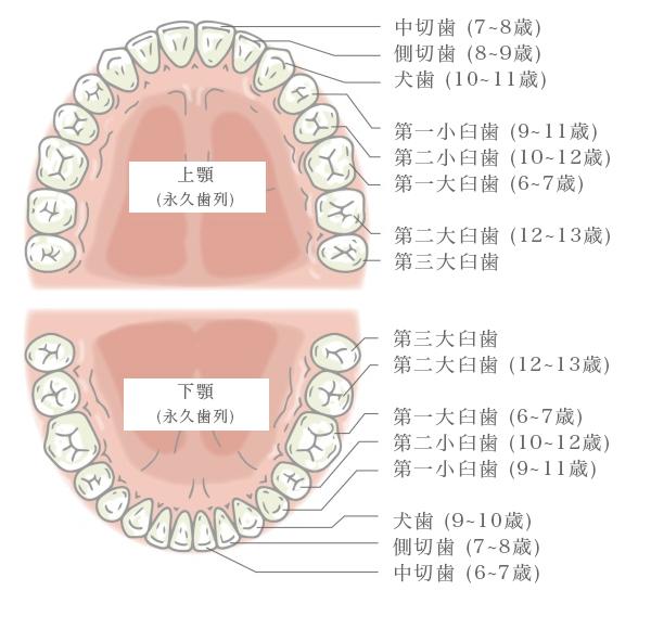 ヒトの歯の全体図、第三大臼歯が「親知らず」