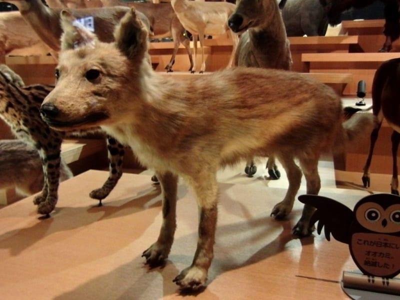 「ニホンオオカミ」がイヌに最も近い種と判明!