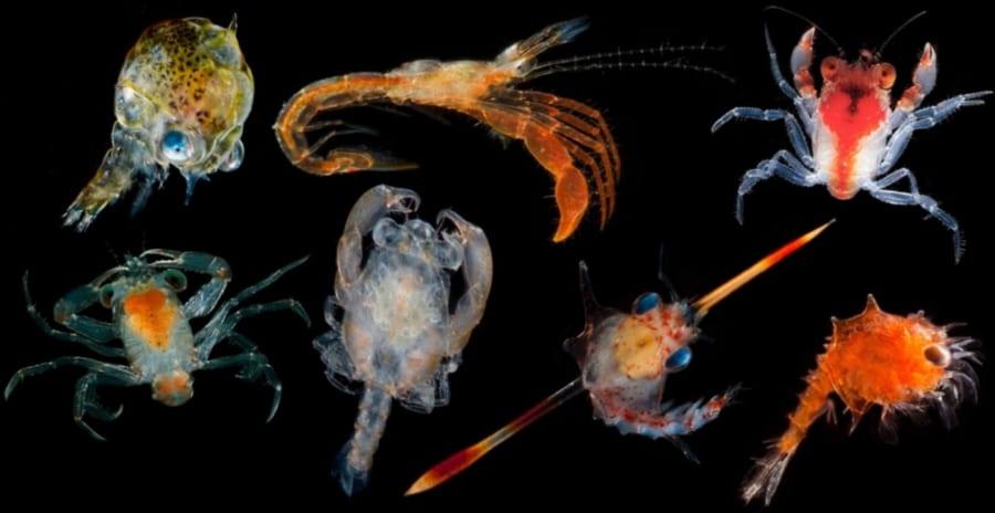 深海のモンスター生物の正体を調査!そのほとんどは「エビの幼生」だった