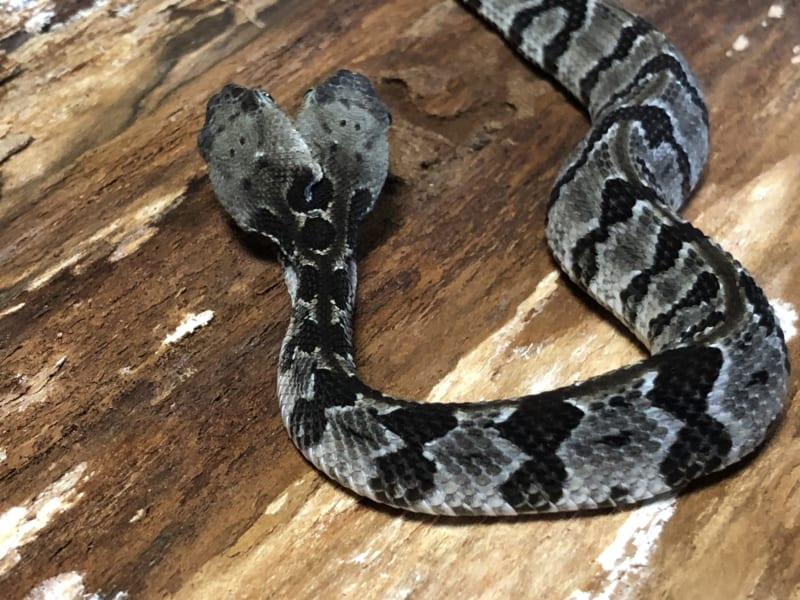2019年に捕獲された双頭ヘビの個体
