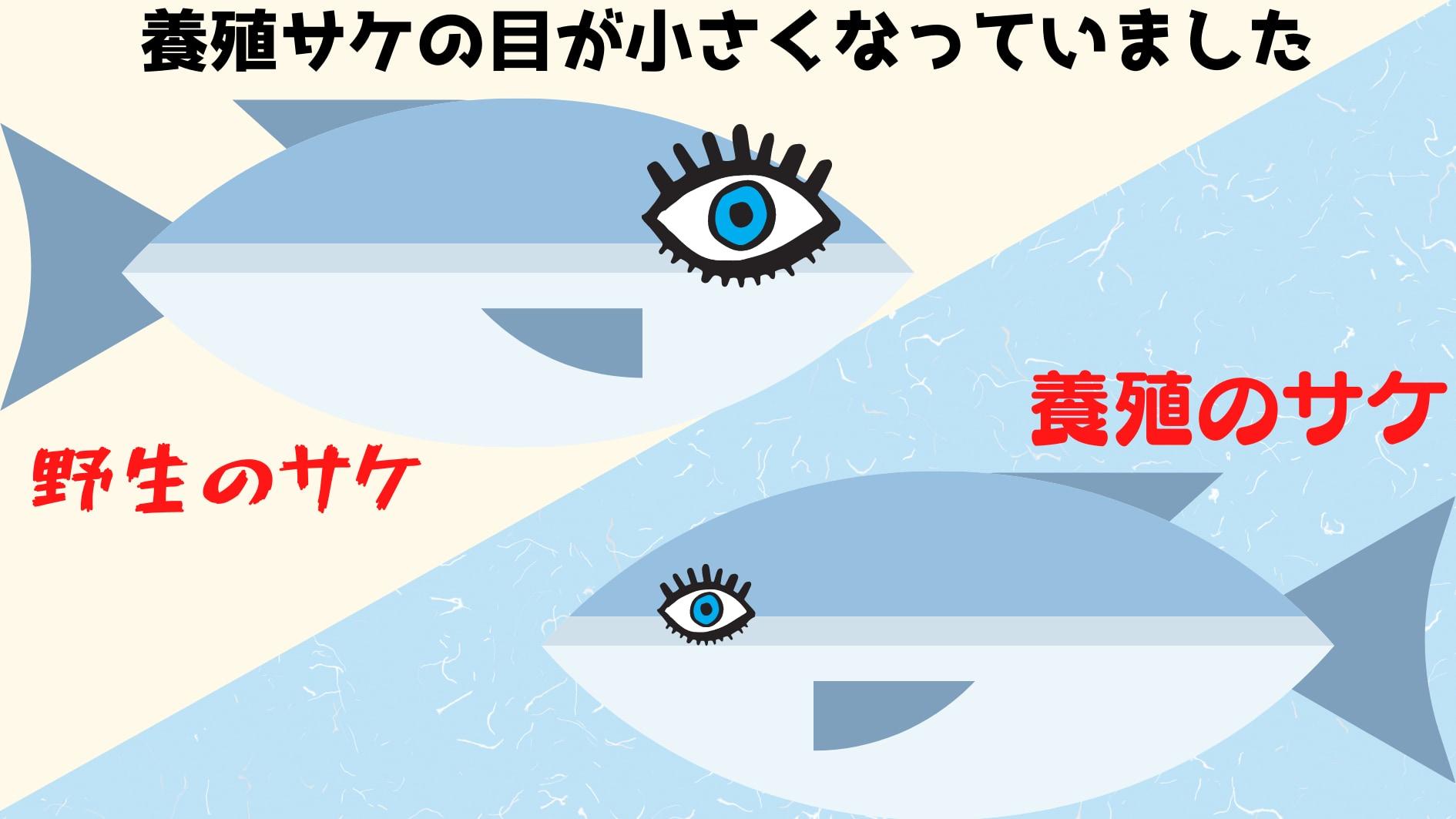養殖によってサケの目が小さくなっていると判明!