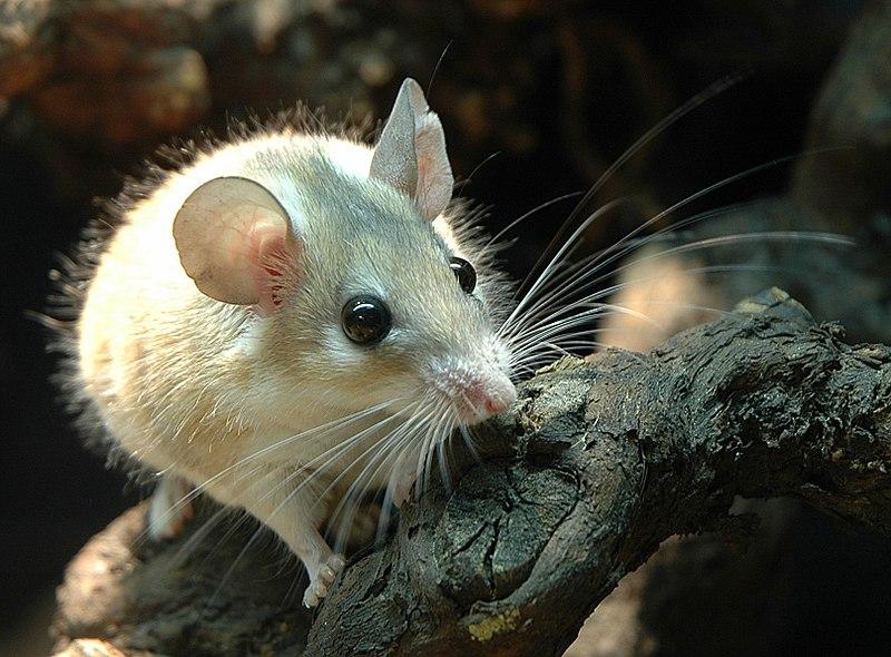 トゲマウスの一種「カイロトゲマウス」