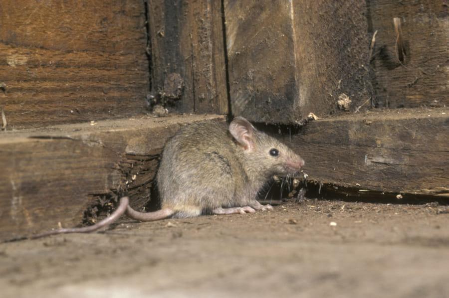 遺伝操作でタッチの代わりに「青い光で発情する」マウスを作成