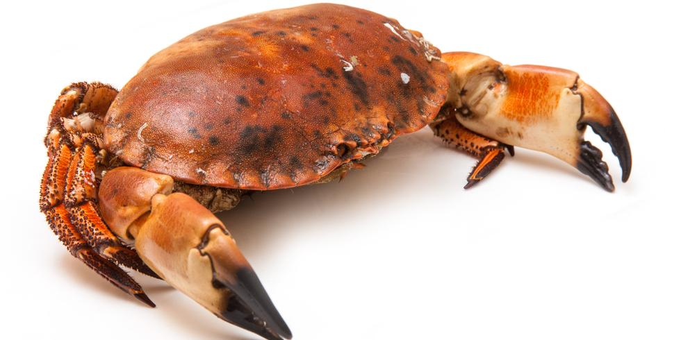 ヨーロッパイチョウガニが海底ケーブルに「とりこ」に?