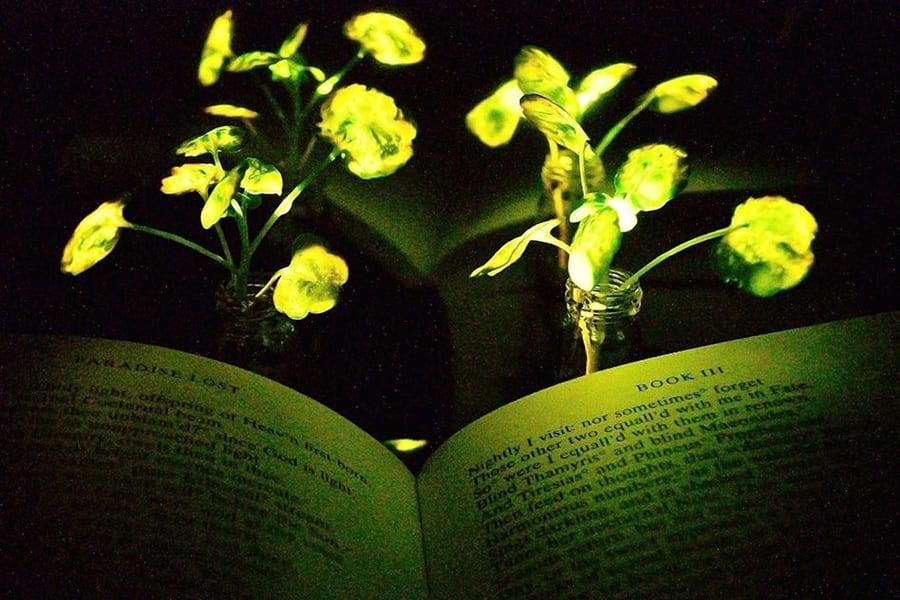 植物にナノ粒子を埋め込んで「人工発光植物」を作ることに成功