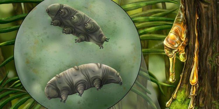1600万年前の琥珀中に新種のクマムシを発見