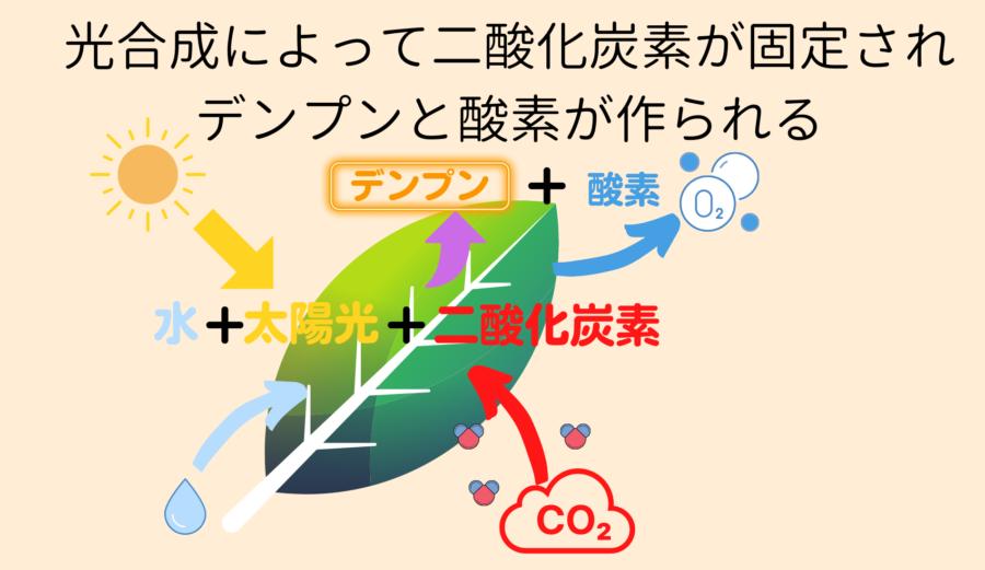 光合成によって二酸化炭素が固定されデンプンが作られる。ただしエネルギー効率としては低い。